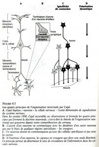 cajal-neurone